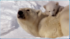 earth-the-polar-bears