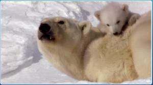 earth-the-polar-bears